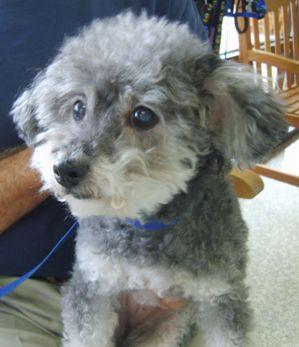 Daisy likes her Laser Therapy at Animal Medical of Chesapeake, 921 Battlefield Blvd, Chesapeake, Va 23320